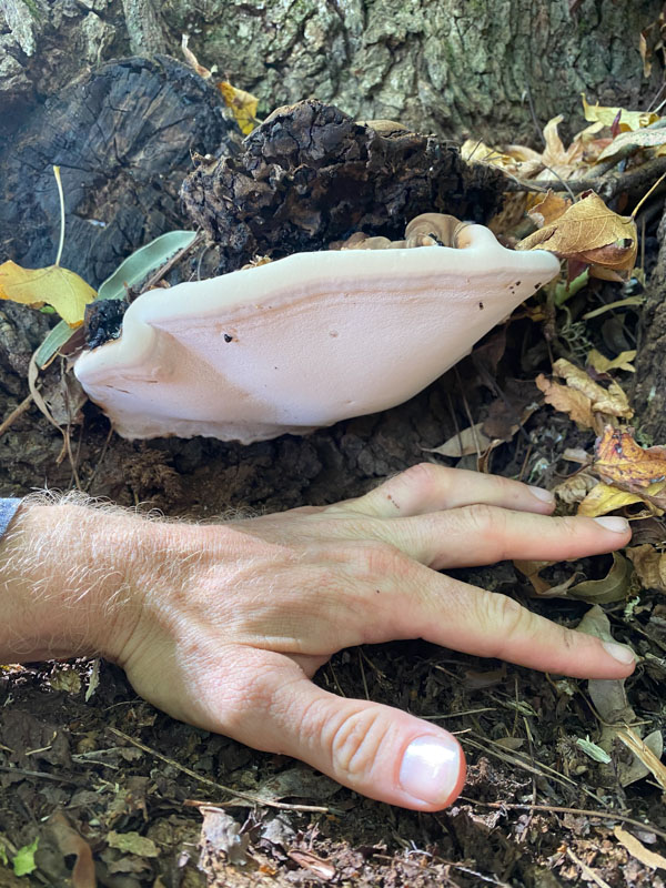 Hand next to fungus for size comparison